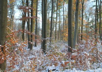 Verschneiter Buchenwald mit natürlicher Verjüngung